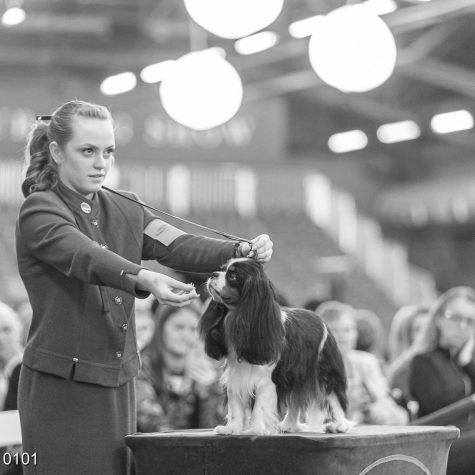 Sedro-Woolley High School Senior Emma Adams shows her dog, Gunnar, off to the judges table at the Westminster Kennel Club Dog Show in New York